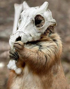 松鼠的頭盔