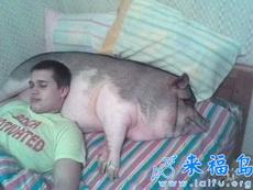农场主御用枕头