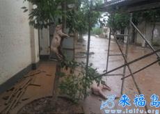 四川洪灾中惊人的一幕:猪上树了!!!男人的话可以相信了……