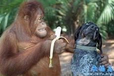 猩猩请小狗吃香蕉