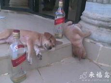 狗狗喝醉了