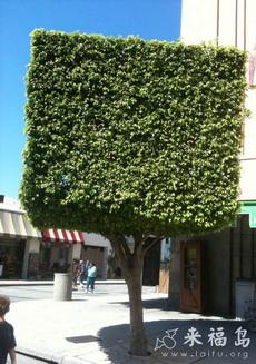 树竟然给修剪成方块的