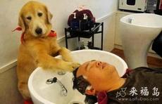 小狗沦落到理发店当洗头工了