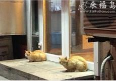 狮子买不起,就用两只猫代替吧!