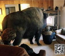 Buffalo Watching Tv