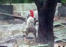这是我见过最霸气的鸡了!