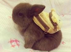 当兔子背上书包后,萌哭了