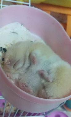买了只仓鼠,我以为它撑死了,原来睡着了