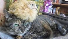 本喵不发威,鸡都骑到头上了!