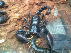 蜈蚣蝎子大战