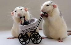 鼠妈妈和鼠爸爸的猫宝宝