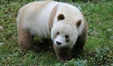 估计是出世的时候熊猫妈妈的墨水用光了