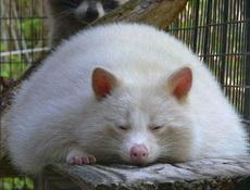 这到底是猫是鼠是猪