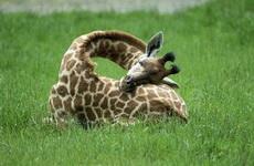 原來長頸鹿是這么睡覺的