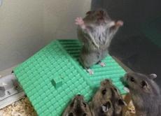 大早上起来,就看见仓鼠们在搞某种神秘的膜拜仪式,教主简直帅炸了