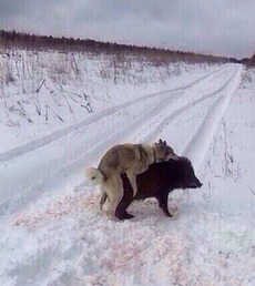 野狗终于追上了野猪,于是它们生了个野种