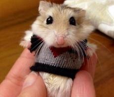 給小倉鼠織了件小衣服,萌哭了