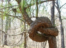 这是一棵有故事的树