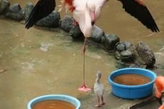 一只火烈鸟宝宝正在练习单腿站