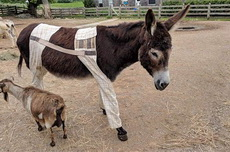 主人真贴心,还给俺老驴穿上如此时髦的衣服,我一定要加倍努力干活!