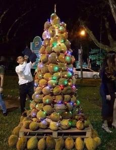 圣诞树之霸主