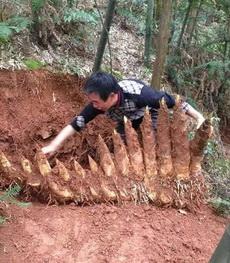 这莴笋祖宗十八代都被挖出来了