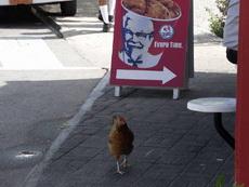 你是一只成熟的鸡了