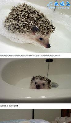 呼~爱洗澡的超萌小刺猬(3P)