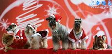 圣诞狗狗穿新装