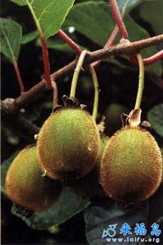 这又是什么果子啊?!
