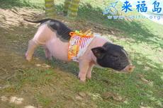 漂亮猪小妹