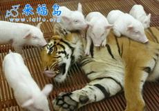 虎落平陽被豬欺