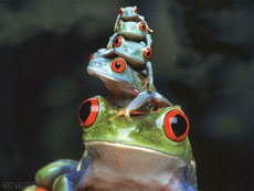 叠罗汉的青蛙