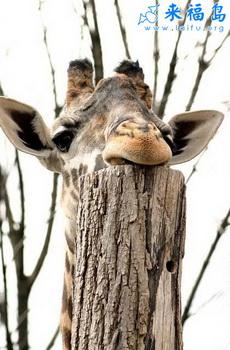 原来长颈鹿是这样休息的
