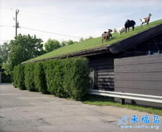 屋顶上也可以养羊