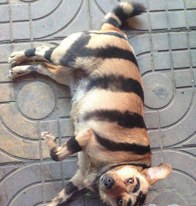 朋友说他养了只老虎