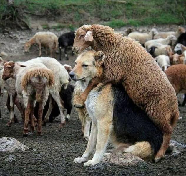 羊:这是我最好的朋友